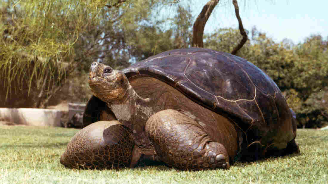 An undated photo from the San Diego Zoo shows Speed, a Galapagos tortoise that had been at the zoo since 1933. Speed was euthanized in June at an estimated age of more than 150 years, after being in decline for some time.