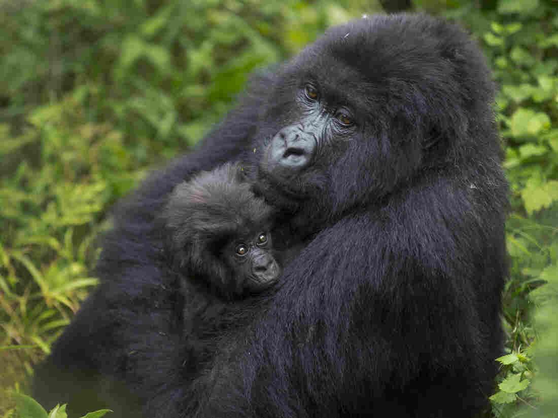 A mother mountain gorilla holds her baby in Volcanoes National Park, Rwanda on Sept. 4, 2015.