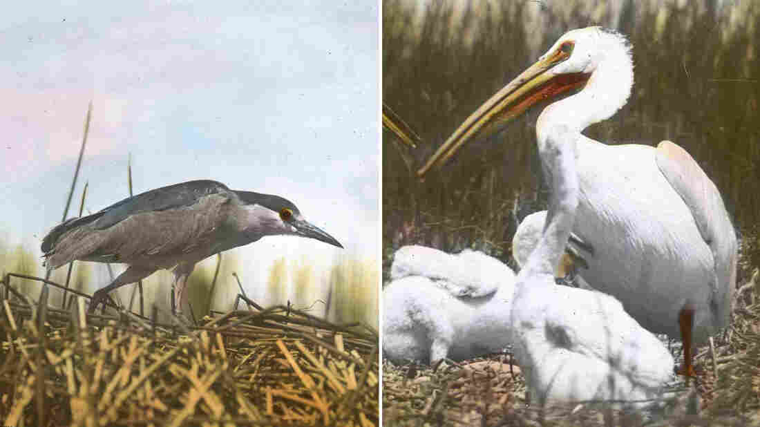 Black-capped night heron and American white pelican, captured by Finley and Bohlman.