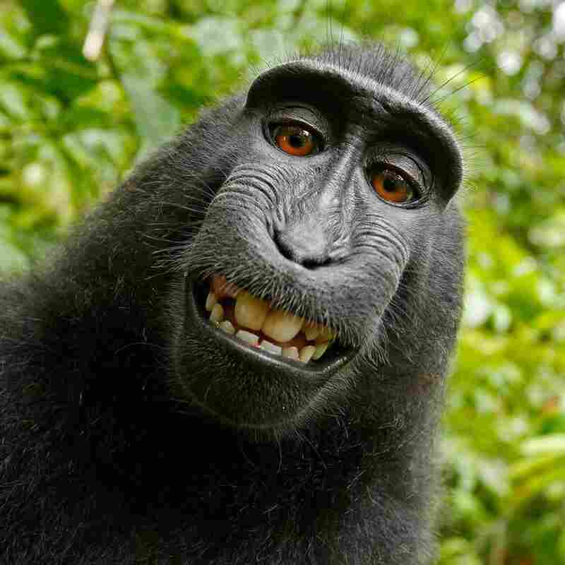 Monkey Can't Own Copyright To His Selfie, Federal Judge Says