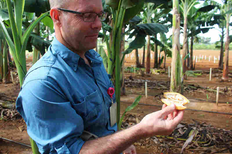 Brian Irish, a scientist with the USDA's Agricultural Research Service in Puerto Rico, with the fruit of a wild banana variety.
