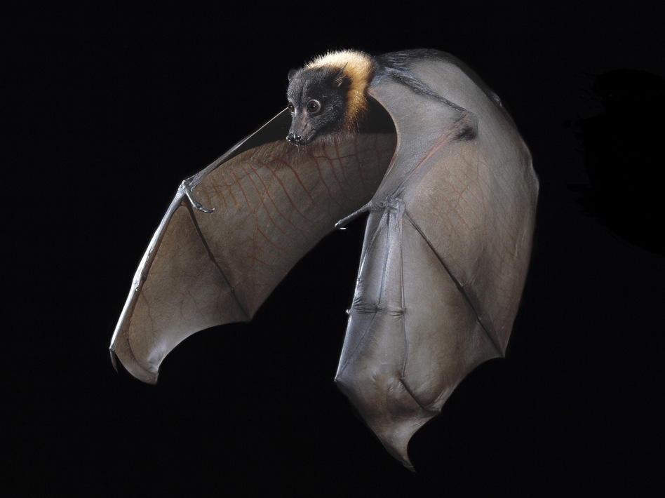 The Indian fruit bat known as the flying fox can harbor diseases that other animals — and humans — can contract. (Stephen Dalton/Science Source)