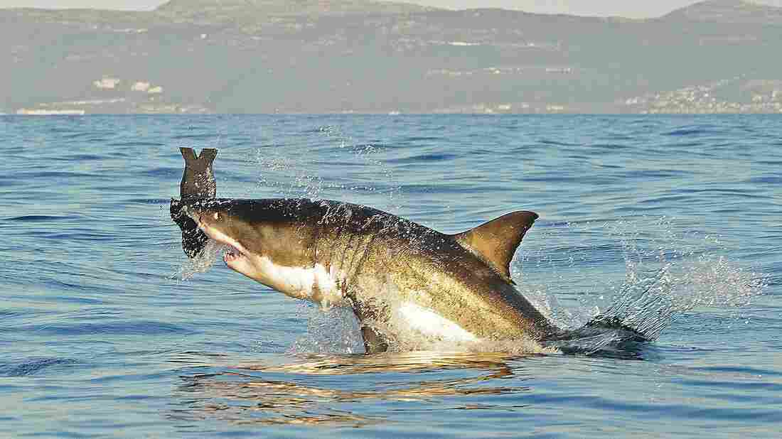 A great white shark breaches the surface in July 2010 as it attacks a decoy seal off the coast of South Africa.