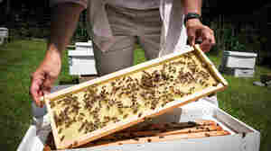 Maryann Frazier, a researcher at Penn State's Center for Pollinator Research, checks on one of her experimental honeybee hives. Frazier is testing the effects of pesticides on honeybee colonies.