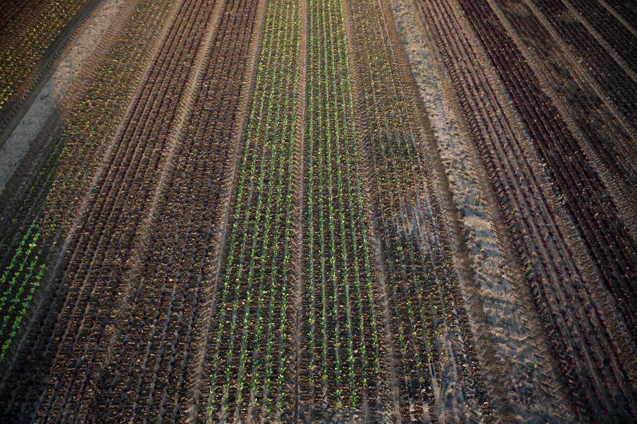 Rows of lettuce at Chef's Garden in Huron, Ohio. (Ryan Kellman/NPR)