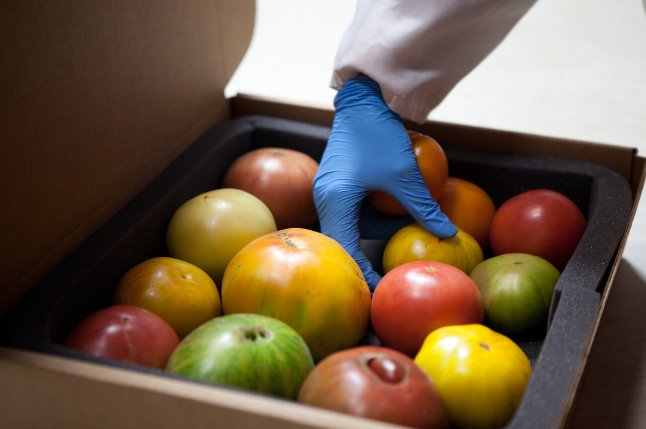 A box of heirloom tomatoes is fitted with foam padding before being shipped overnight to a chef. (Ryan Kellman/NPR)