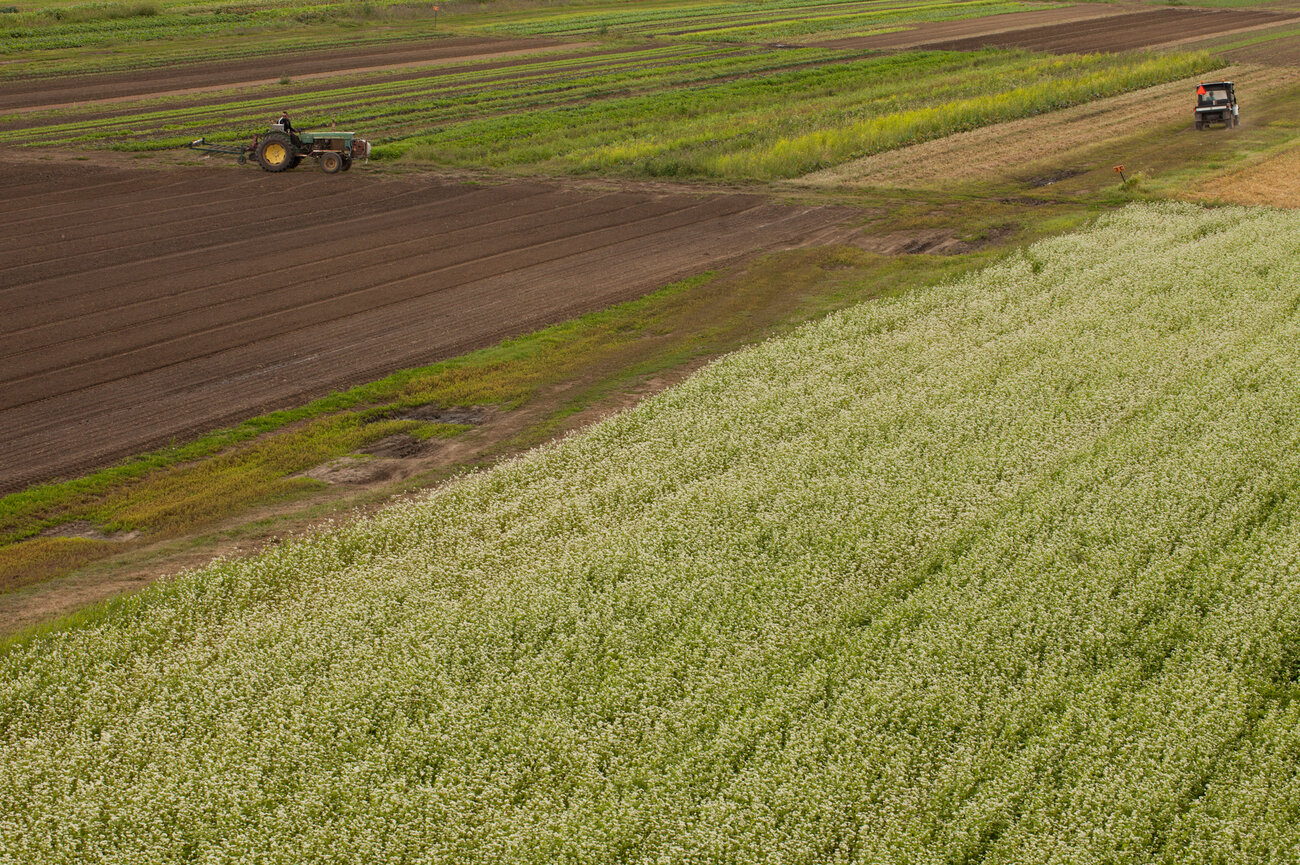 The Joneses plant only one-third of their land with vegetables at any one time.The remaining 200 acres are sown with cover crops for one to two years before they're planted with vegetables again. (Ryan Kellman/NPR)