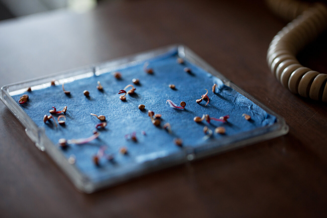 The Joneses monitor seed vitality by germinating each batch they receive. Here, Helios radish seeds are checked for their germination rate. (Ryan Kellman/NPR)