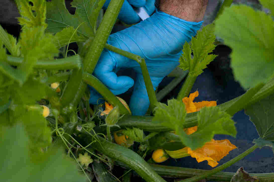 The farm has developed an eight-stage, patented set of sizes for vegetables like squash it offers chefs. The sizes include micro, petite, young, flowering and seeded.