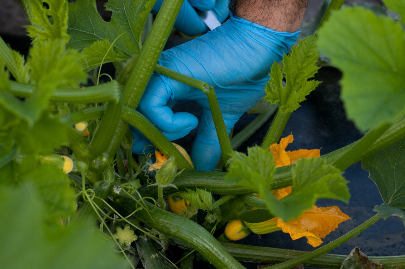 The farm has developed an eight-stage, patented set of sizes for vegetables like squash it offers chefs. The sizes include micro, petite, young, flowering and seeded. (Ryan Kellman/NPR)