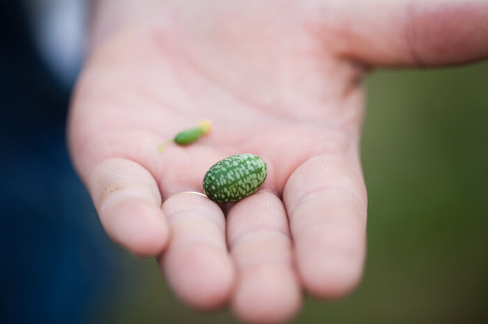 The cucamelon is a tiny cucumber that looks like a watermelon. (Ryan Kellman/NPR)