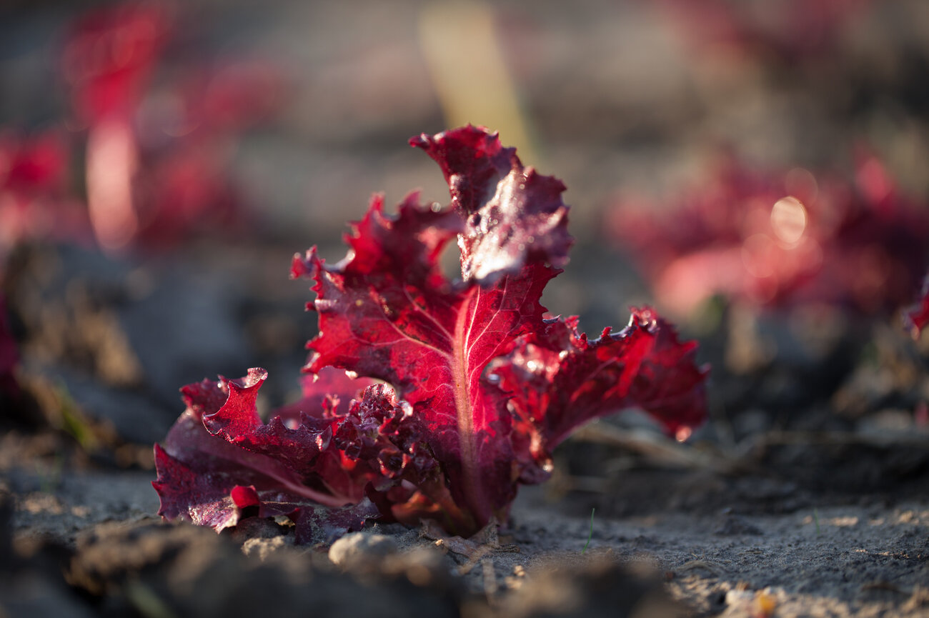 Merlot lettuce is one of many varieties of lettuce grown by Chef's Garden. (Ryan Kellman/NPR)