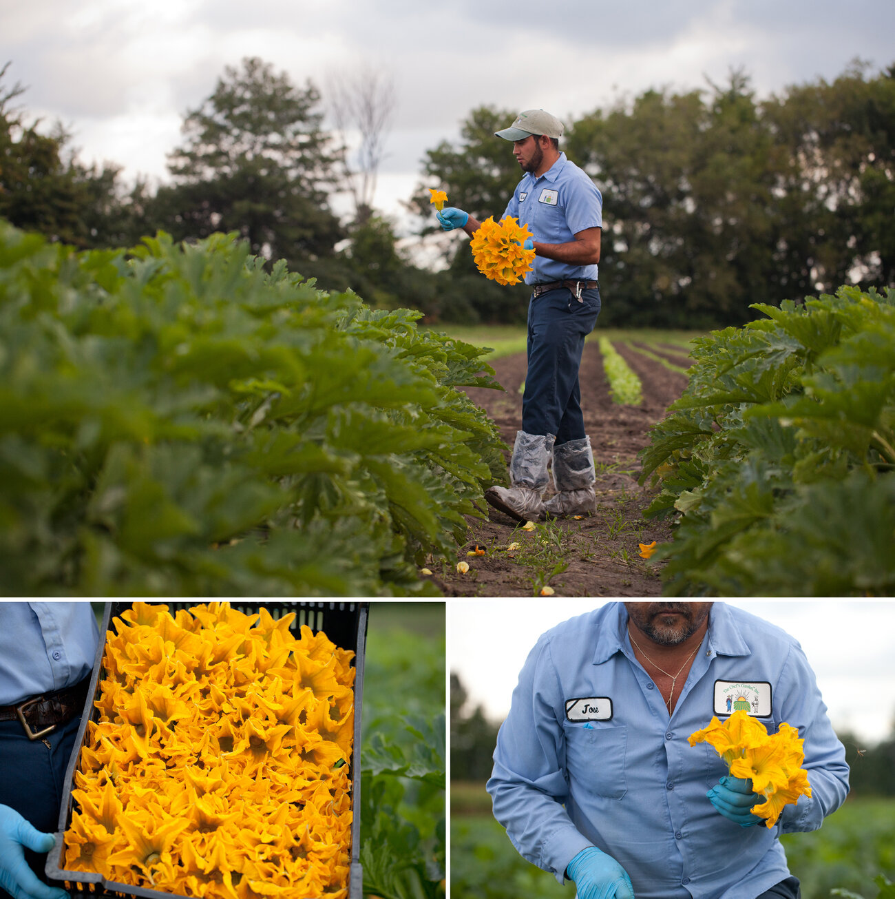 Workers at Chef's Garden pick squash blossoms only at their peak, which is a narrow hour-and-a-half window in the early morning. (Ryan Kellman/NPR)