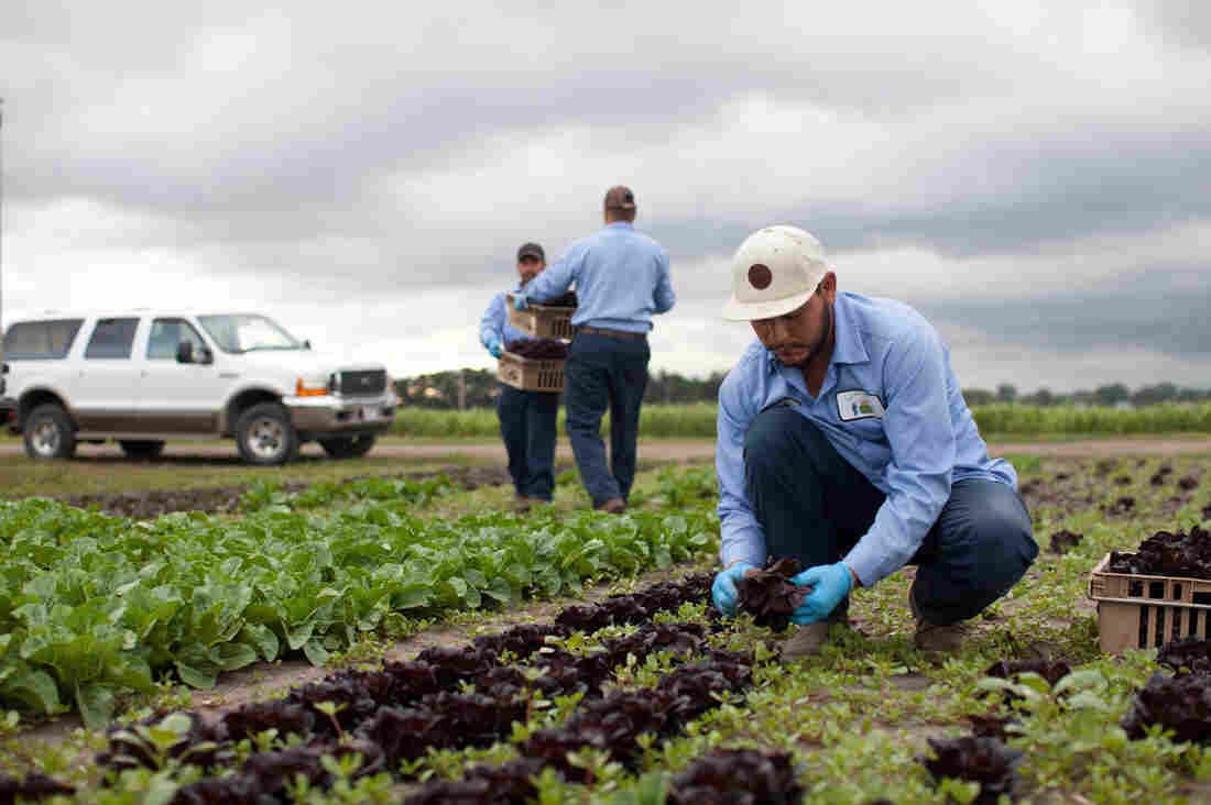 About 25 of the 178 employees of Chef's Garden are temporary workers who come mainly from the Aguascalientes region of Mexico to work on the farm nine months a year.