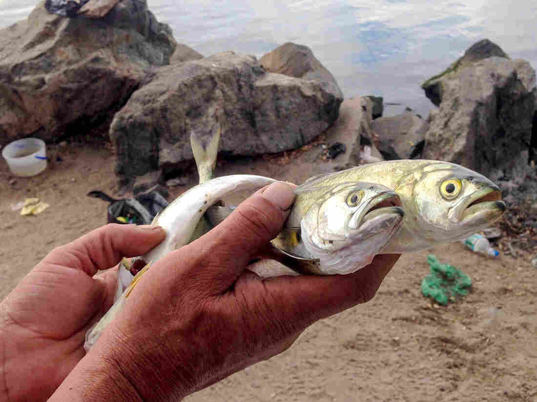The New Jersey Department of Environmental Protection and Department of Health advise against eating any fish from the Lower Passaic because it may be contaminated with toxic chemicals. But Owaldo Avad says he's been catching and consuming fish like these from the river for eight years.