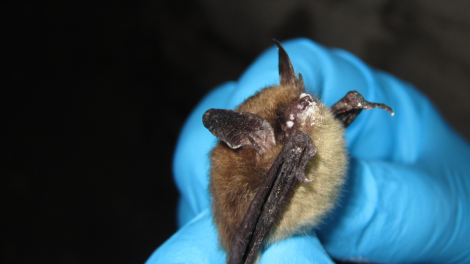 A scientist holds a northern long-eared bat suffering from the white-nose syndrome in LaSalle County, Ill. (Steve Taylor/University of Illinois/ U.S. Fish and Wildlife Service)