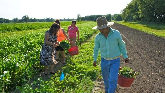 Members of Parroquia's San José Latino ministry glean from the fields of Angelic Organic's farm in Caledonia, Ill. (Courtesy of Parroquia San José)