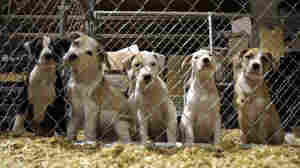 These pit bull puppies in St. Louis were among the hundreds seized across seven states in 2009 in the largest dogfighting raid in U.S. history.