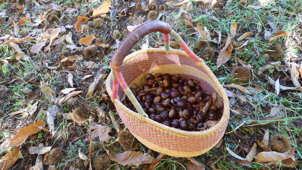 Amigo Bob Cantisano and his partners believe these chestnuts come from a Marron de Lyon tree, originally from France. He thinks the tree was one of many varieties of fruit, grape and nut plants introduced into California by Felix Gillet, a French nurseryman, in the late 1800s.