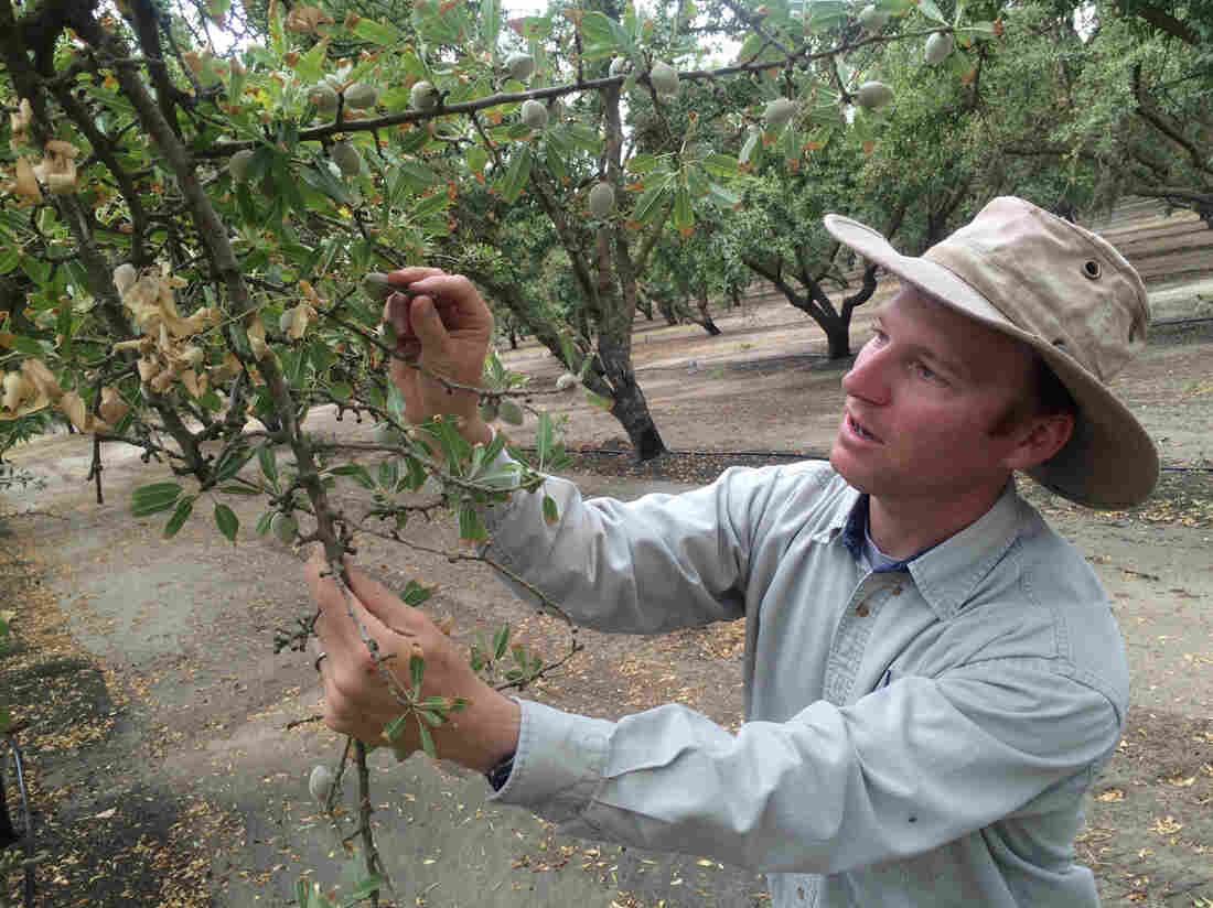 David Doll of the University of California Division of Agriculture and Natural Resources, examines an almond tree. High almond prices prompted many California growers to put in new plantings of the nut tree in recent years. But those prices have now fallen about 20 percent.