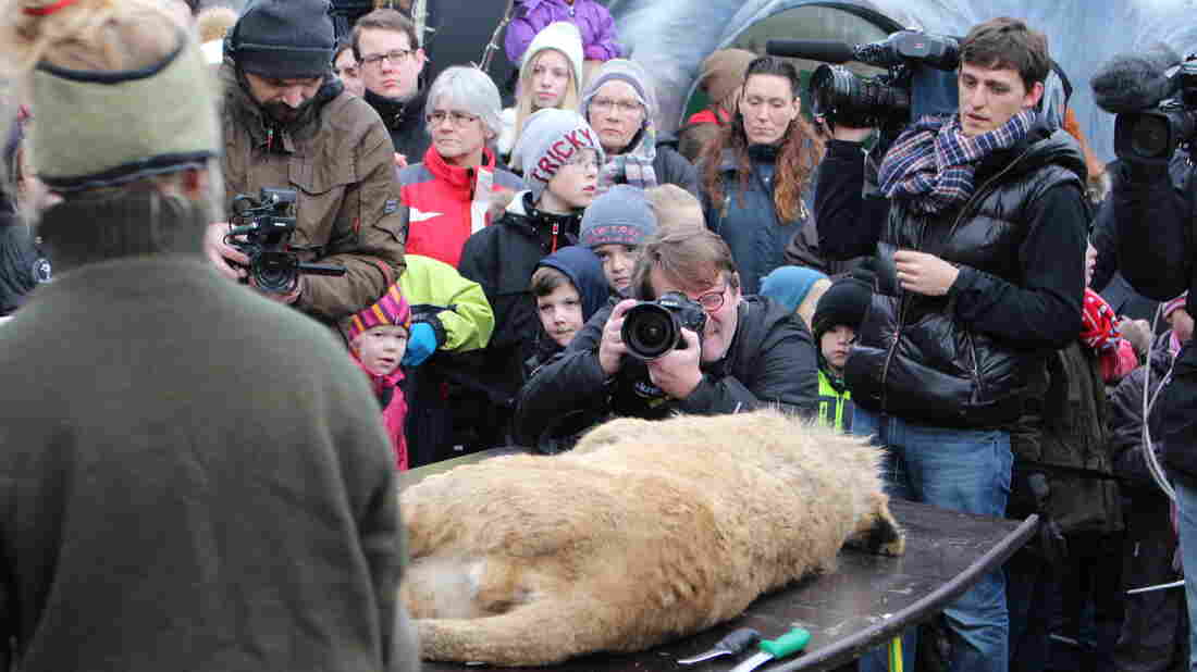 Photographers take pictures of the lion carcass before it's publicly dissected at Odense Zoo in Denmark. It was the zoo's second public dissection of a lion in four months.