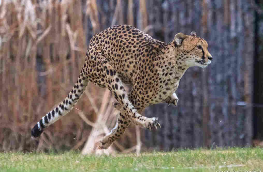 Sarah The Cheetah World S Fastest Land Animal Dies At 15