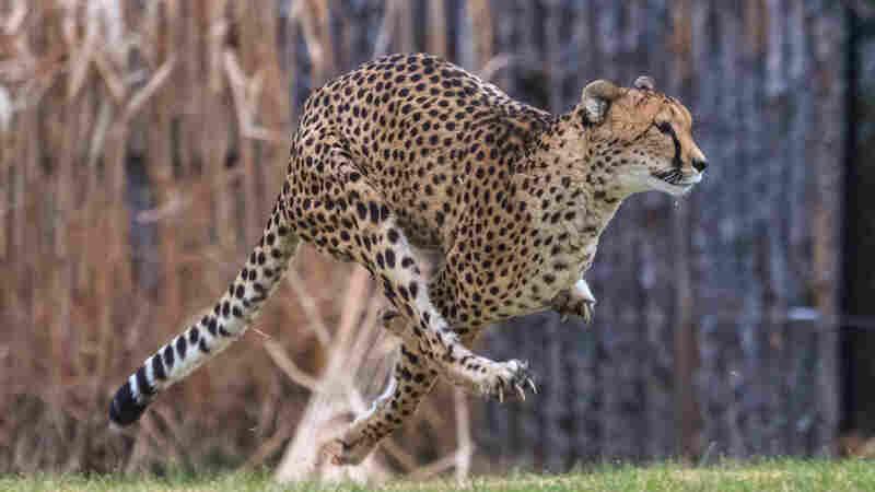 Sarah The Cheetah, World's Fastest Land Animal, Dies At 15