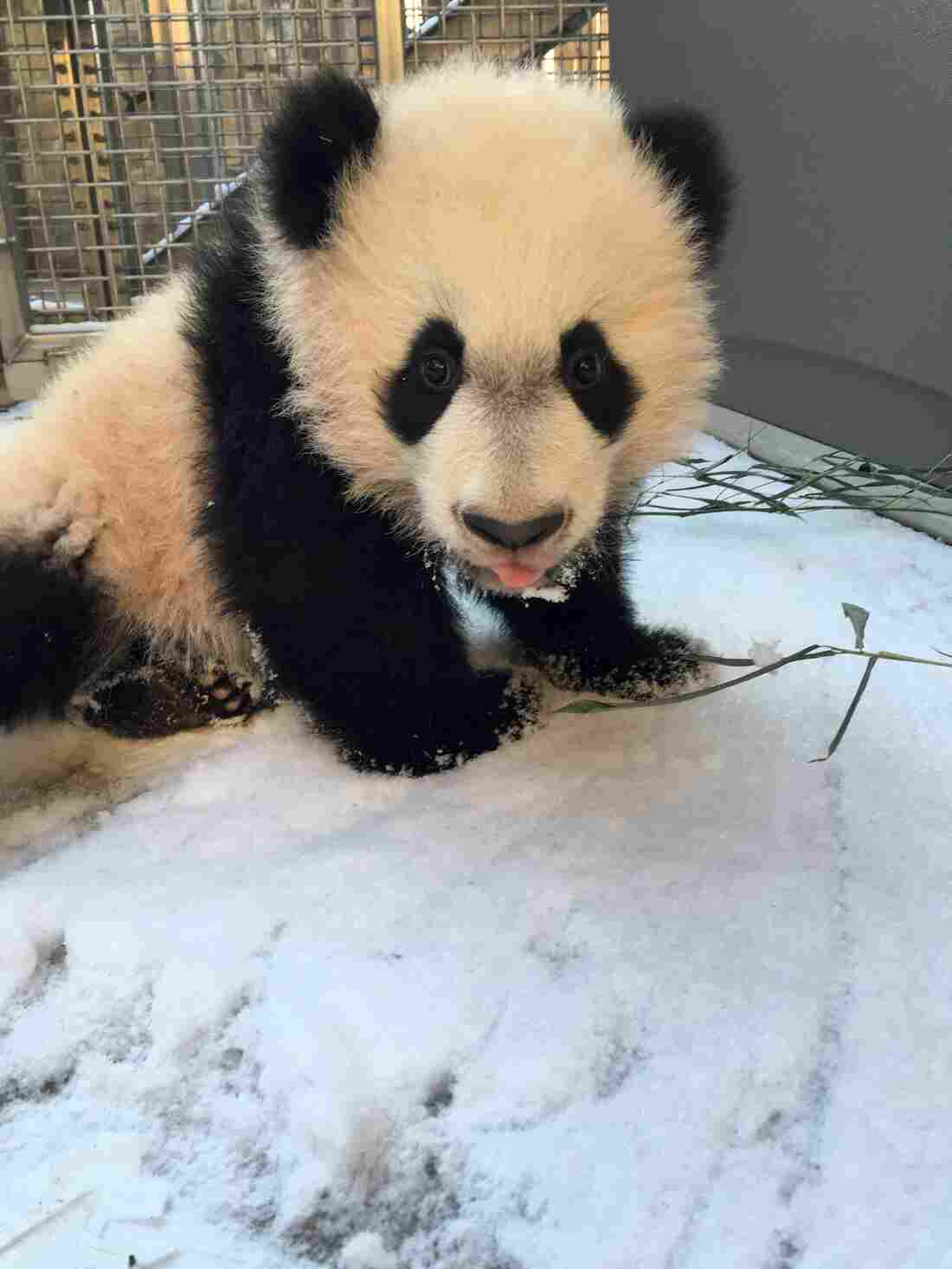 """Bei Bei, the youngest giant panda at the National Zoo, experiences snow for the first time on Jan. 21. """"Keepers said he wasn't quite sure what to make of the powdery snow,"""" the Zoo wrote on Flickr."""