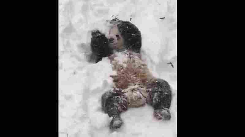 Tian Tian enjoys the snow on Saturday at the National Zoo in Washington, D.C.