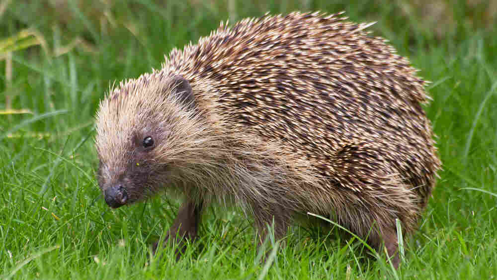 British Homeowners Build A New Superhighway — For Hedgehogs