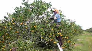 Guest Workers, Legal Yet Not Quite Free, Pick Florida's Oranges