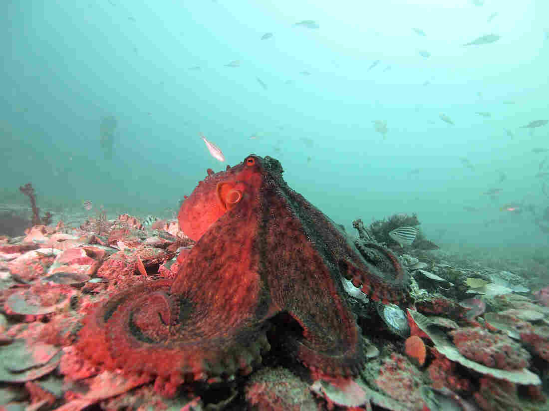 The dark red color and looming posture of this Octopus tetricus likely signals menace to another octopus nearby, say scientists who studied 186 octopus interactions in 52 hours of underwater video.
