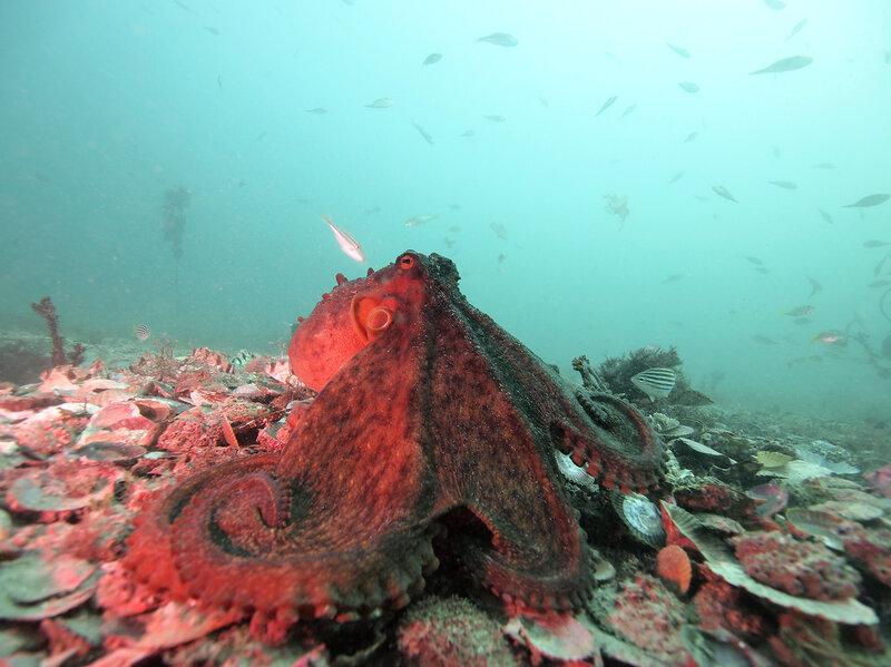 Shifting Colors Of An Octopus May Hint At A Rich Nasty Social Life