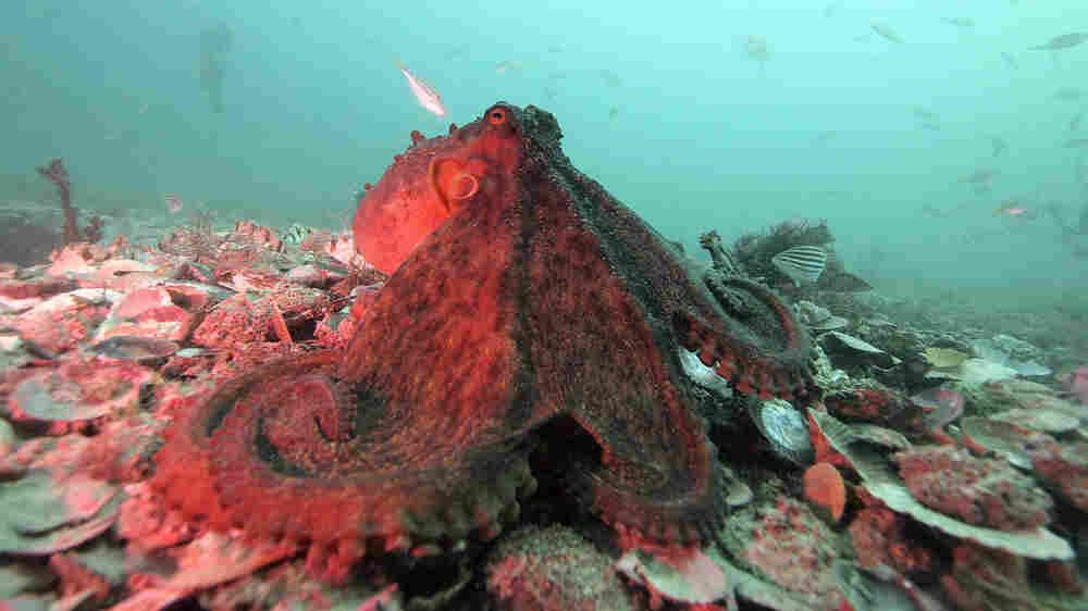 Shifting Colors Of An Octopus May Hint At A Rich, Nasty Social Life