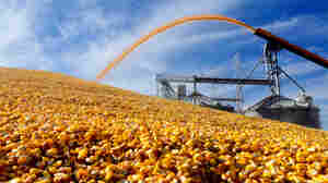 A farmer deposits harvested corn outside a grain elevator in Virginia, Ill., in 2015. Corn and soy have fallen, and farmers are receiving payments under a new program. The Congressional Budget Office estimates that total government aid to farmers will swell to $23.9 billion in 2017.