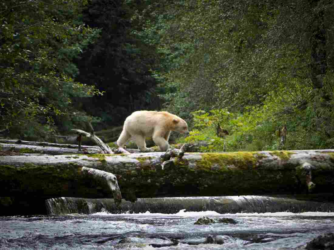 An adult spirit bear crosses a fallen log over a stream in the Great Bear Rainforest in British Columbia.