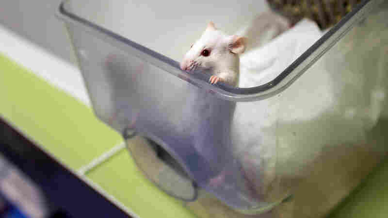 When so-called senescent cells were removed from mice, they were healthier and lived longer than mice that still had the cells.