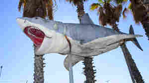 The Academy Museum has announced that it has accepted into its collection a major gift of the sole surviving full-scale model of the 1975 Jaws shark, donated by Nathan Adlen.