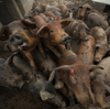Pigs gather in a sty at the Sierra de las Villuercas processing plant in October near Deleitosa, Spain.