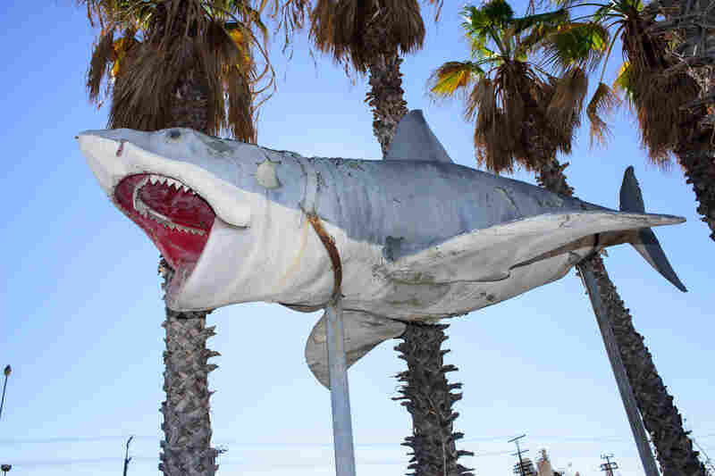 The Academy Museum has accepted into its collection the sole surviving full-scale model of the 1975 JAWS shark, donated by Nathan Adlen.