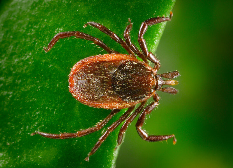 The black-legged tick can spread both species of bacteria known to cause Lyme disease.