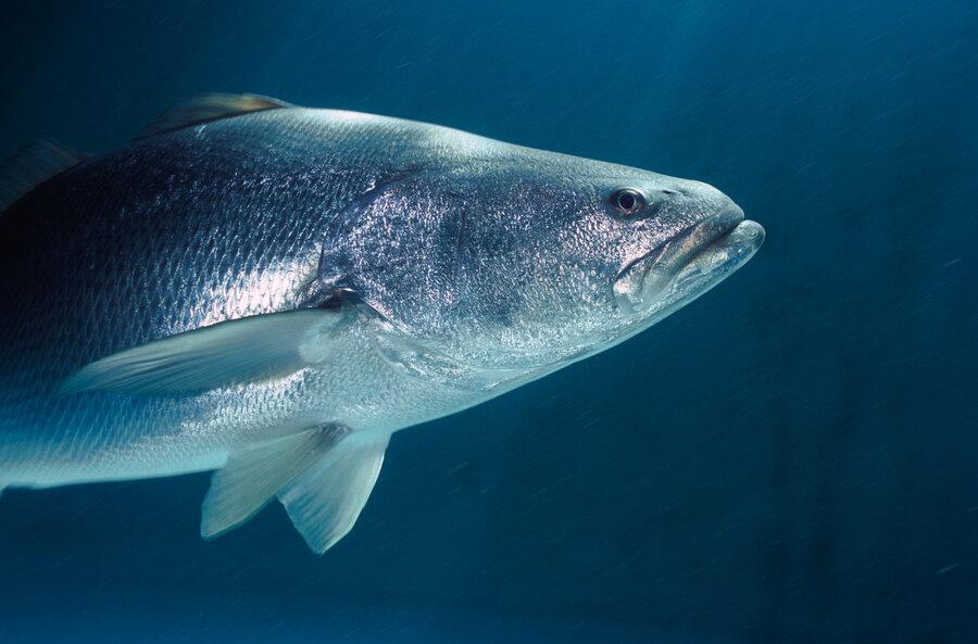 Chinese Taste For Fish Bladder Threatens Rare Porpoise In Mexico