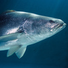 The Totoaba is prized for its large swim bladder.