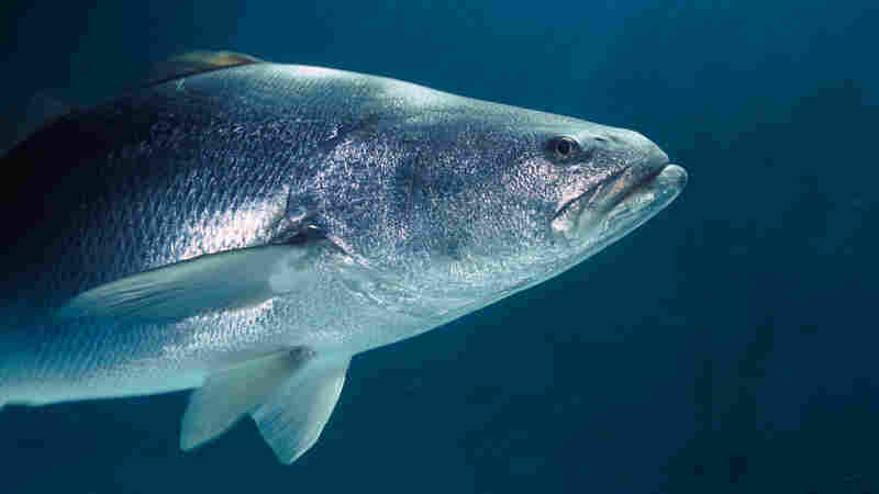The totoaba is prized for its large bladder.