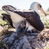 Wisdom, a Laysan albatross that's believed to be 65 years old, and her mate have welcomed a new chick at the Midway Atoll National Wildlife Refuge. Here, a week-old chick peeks out from its nest.