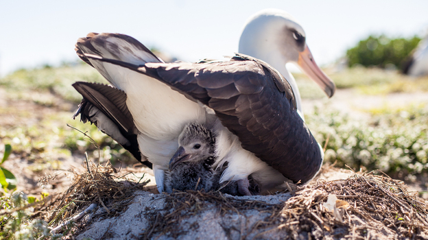Wisdom, a Laysan albatross that's believed to be 65 years old, and her mate have welcomed a new chick at the Midway Atoll National Wildlife Refuge. Here, a week-old chick peeks out from its nest. (Paliku Productions)