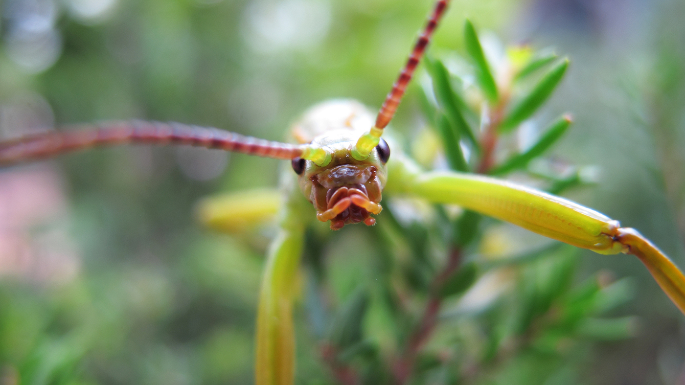 Cricket (Insect) - YouTube  |Insecta Insects