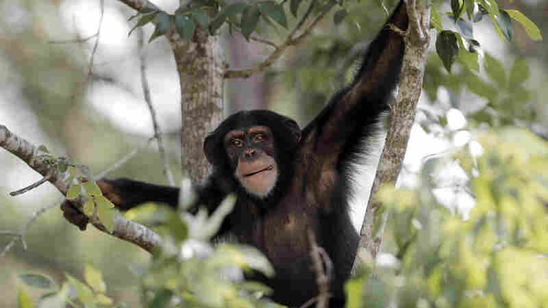 Diane, a 4-year-old chimpanzee, relaxes in the trees at the Chimp Haven sanctuary in Keithville, La., on Aug. 25, 2014. She is one of many chimps who have been moved here from the New Iberia Research Center in Lafayette, La.