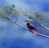 A maroon oriole rests on a branch in a rain forest in Fuyuan in Taiwan's eastern county of Hualien.