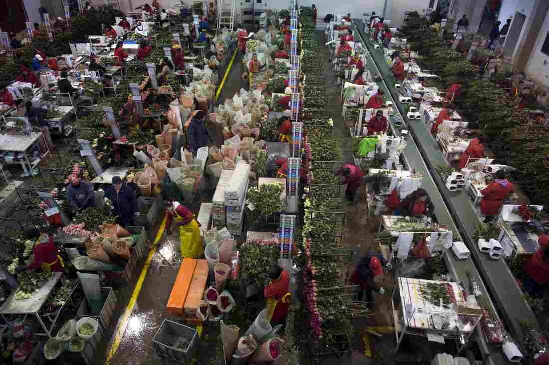 Workers prepare roses at a farm in Nemocon, Colombia, on February 2, 2015.